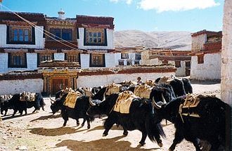 Litang County - Yaks in the Ganden Thubchen Choekhorling monastery courtyard