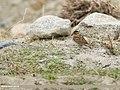 Little Bunting (Emberiza pusilla) (48701257362).jpg