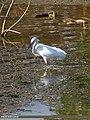 Little Egret (Egretta garzetta) (15706468848).jpg