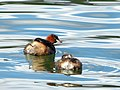 Little Grebe (8012812734).jpg