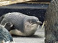 Little penguin 03.jpg