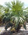 Livistona chinensis-01.jpg