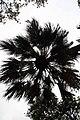 Livistona chinensis 2zz.jpg
