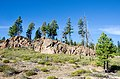 Lodgepole Pines on Bluff-Ochoco (26368052551).jpg