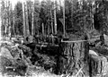 Loggers at work crosscuting timber, Washington, 1894 (KINSEY 2791).jpeg