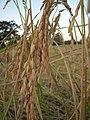 Long grain rice Bakan.JPG