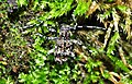 Longhorn Acanthoderes clavipes (9059767982).jpg