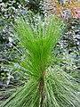 Longleaf Pine Pinus palustris Sapling 2448px.jpg