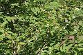 Lonicera nigra (Schwarz-Heckenkirsche) IMG 9489.jpg