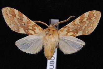 Lophocampa maculata - Image: Lophocampa maculata