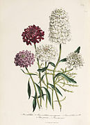 Loudon - The Ladies' Flower-Garden of Ornamental Annuals - pl. 12.jpg