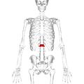 Lumbar vertebra 1 anterior.png