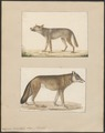 Lupus orientalis - 1700-1880 - Print - Iconographia Zoologica - Special Collections University of Amsterdam - UBA01 IZ22200367.tif