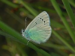Lycaenidae - Glaucopsyche alexis.JPG