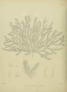 <i>Lateristachys diffusa</i> species of lycophyte