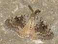 Lymantria dispar ♂ - Gypsy moth (male) - Непарный шелкопряд (самец) (39979996045).jpg