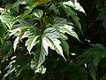 Mûrier à feuilles de platane Bergerac feuilles (1).jpg