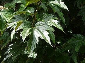 M rier feuilles de platane wikip dia - Fruit du murier platane ...