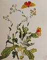 MSMerian StrohblumeUnd Castnilde 1705.jpg