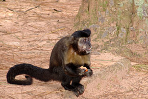 alt=Description de l'image Macaco-prego Manduri 151207 15.JPG.