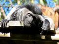 Macaco Colombo Branco e Preto.jpg