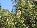 Macaque berbère à Ziama Mansouriah 2 (Algérie).jpg