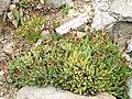 Machairophyllum bijlii - University of California Botanical Garden - DSC08880.JPG