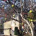 Maclura fruits as christmas decoration.jpg