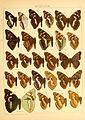 Macrolepidoptera01seitz 0107.jpg