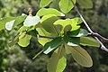 Magnolia officinalis var. biloba 4zz.jpg