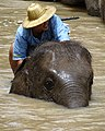 Mahout Bathing Elephant - Thai Elephant Conservation Center - Hang Chat - Thailand (34371360934).jpg
