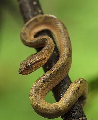 Brahmagiri Wildlife Sanctuary - Malabar pit viper in Brahmagiri Tiger Reserve