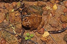 Malabar wart frog7607.jpg