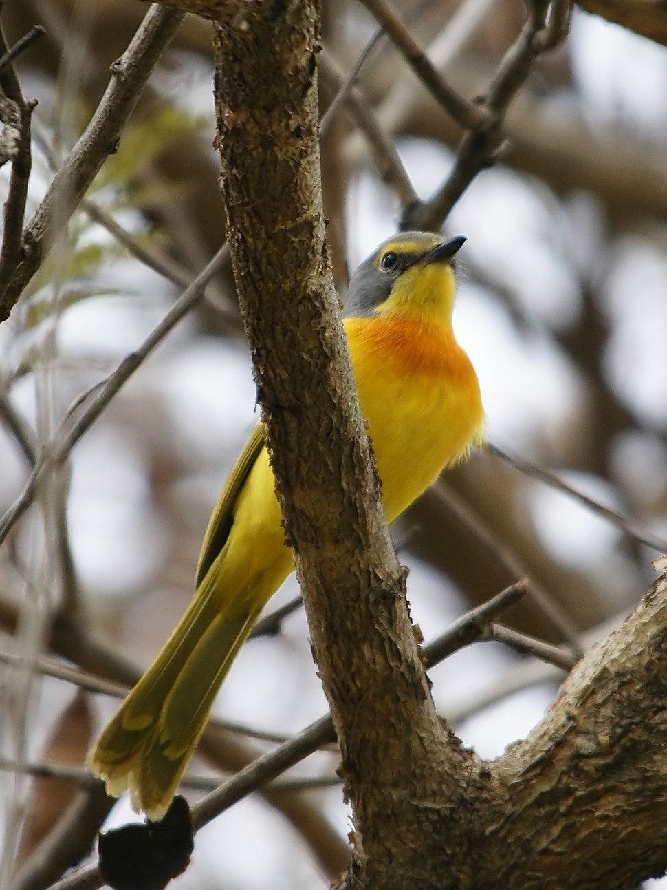 Malaconotus sulfureopectus (Zambia)