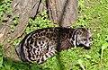 Malaiische Zibetkatze.jpg