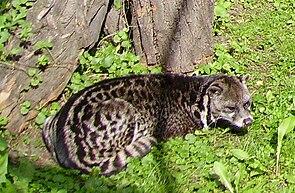 Malaiische Zibetkatze (Viverra tangalunga)