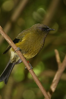 Male Bellbird Karori.JPG