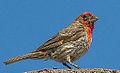 Male House Finch (7618752290).jpg