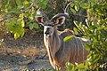 Male kudu in Savuti - Botswana - panoramio.jpg