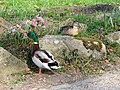 Mallards in flowerbed at Priory Farm - geograph.org.uk - 1801609.jpg