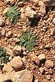 Malta - Qrendi - Hagar Qim and Mnajdra Archaeological Park - Plantago serraria 03 ies.jpg