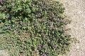 Malva sylvestris subsp. sylvestris.jpg