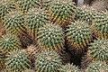 Mammillaria compressa (39149507080).jpg