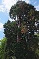 Mammutbaum4.jpg