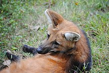 Maned Wolf at Beardsley Zoo.jpg