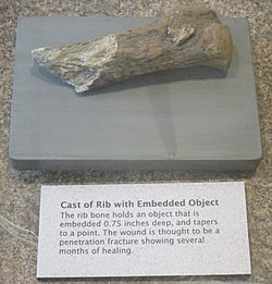 A photograph of about five inches of a long, narrow bone. The break is jagged. At one end a spiky piece of a different material protrudes from the bone. The bone is on a grey backer with a plaque beneath it with some text explaining the embedded spear point.