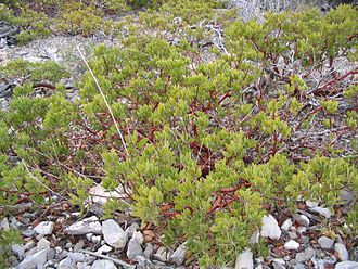 Carbonera Creek - Arctostaphylos are common on the drier rocky slopes of the Carbonera Creek watershed.