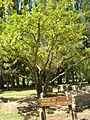 Manzano de Tunuyán.JPG