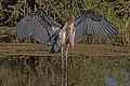 Marabou stork (Leptoptilos crumenifer) spreading wings 2.jpg