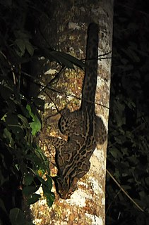 Marbled cat Small wild cat